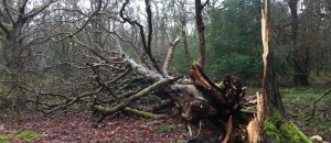 Tree felled in storm