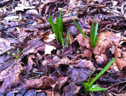 Bluebell shoots early Feb