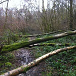 Fallen trees across path