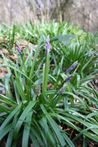 first-bluebell