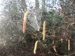 misty catkins and web