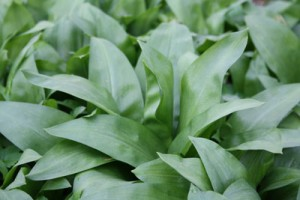 wild-garlic-leaf
