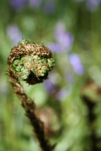 fern-unfurling