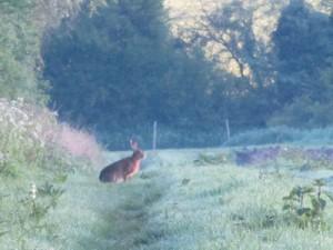 dawn-hare