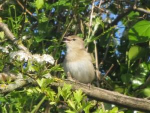Poss Garden warbler