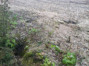 badgersett-post-harvest