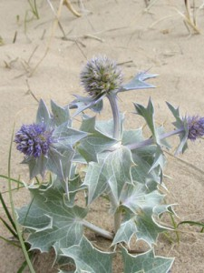 whiteford-sea-holly