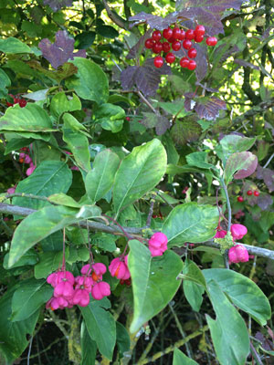Rowan (or possibly Guelder rose) and Spindleberry