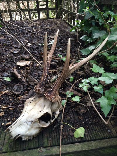 roe-deer-skull