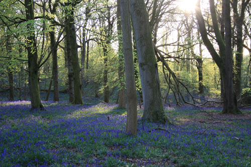 bluebells-and-beech-trees