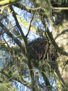 buzzard-nest-closeup
