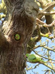 richmond-parakeet