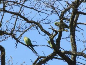 richmond-parakeet2