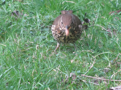 song-thrush-with-worm