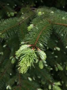 BassOsp-tree-growth