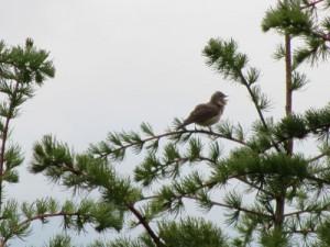 bass-Garden-warbler