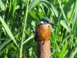 kingfisher-on-post