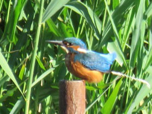 kingfisher-on-post-pooing