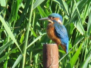 kingfisher-on-post-side