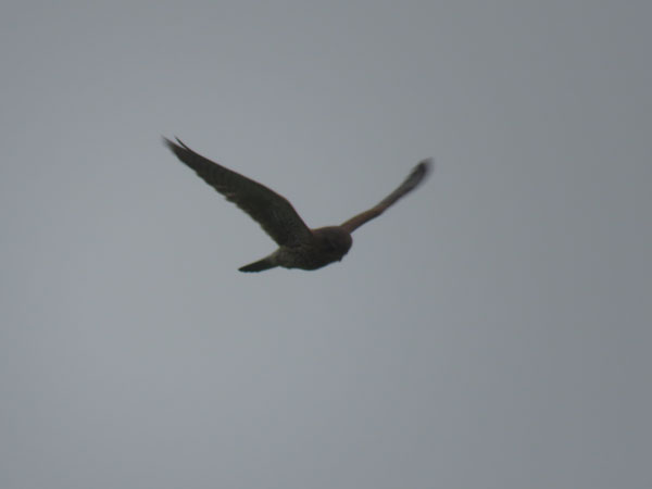 kestrel-farlington-hovering