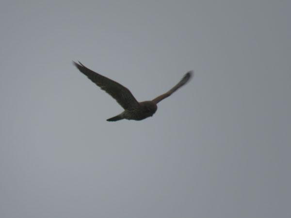 kestrel-farlington-hovering