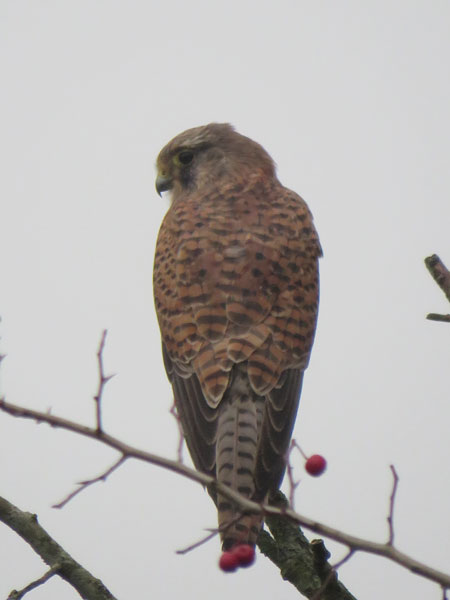 kestrel-farlington-portrait