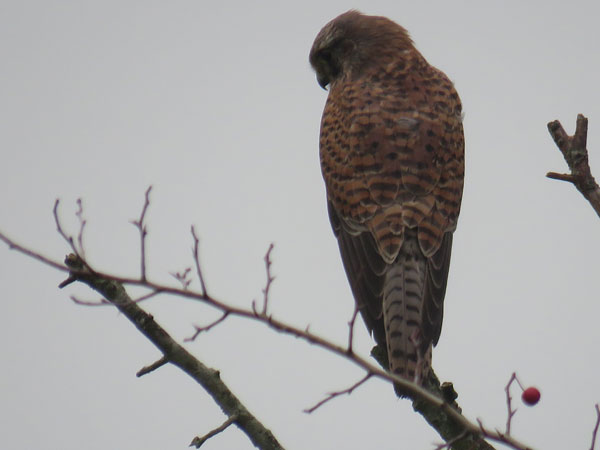 kestrel-farlington
