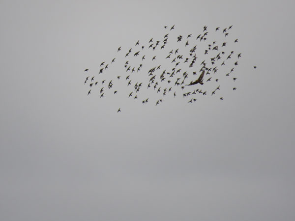 marsh-harrier-and-starlings