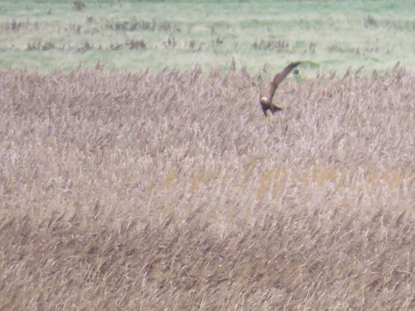 marsh-harrier2