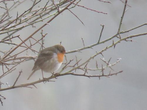 frosty-robin