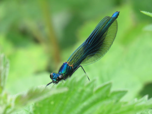 Banded-Demoiselle-Male