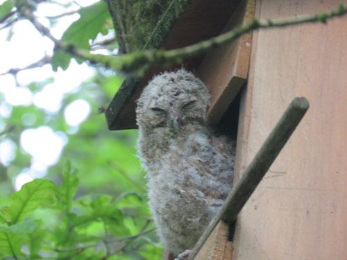 tawny-owlet
