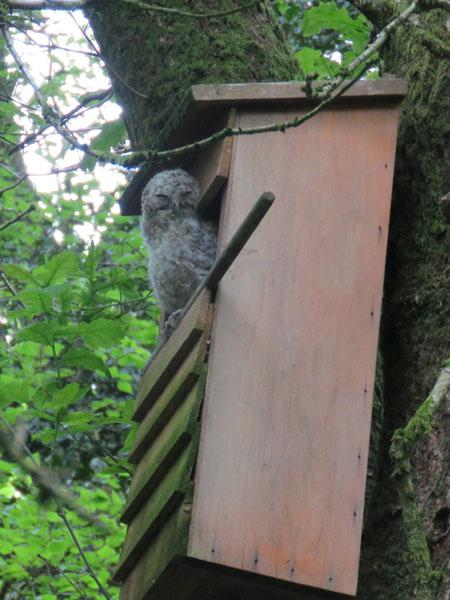 tawny-owlet2