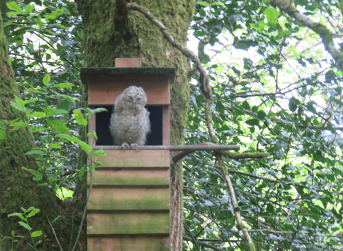 tawny-owlet3