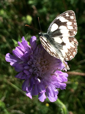marbled-white2