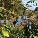 Sloe - blackthorn berry